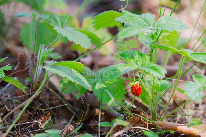 Small berry of wild strawberry in the forest, red sweet berry of strawberry stock photo
