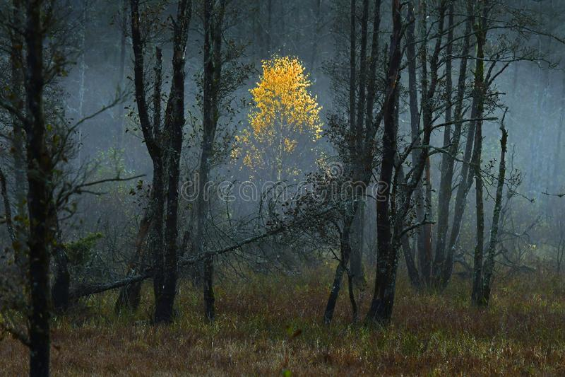 A small birch glows like gold in autumn colors. In a misty marsh in Sweden royalty free stock photos