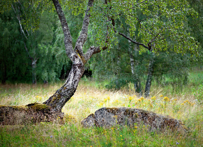 Birch Tree In Summer Stock Images
