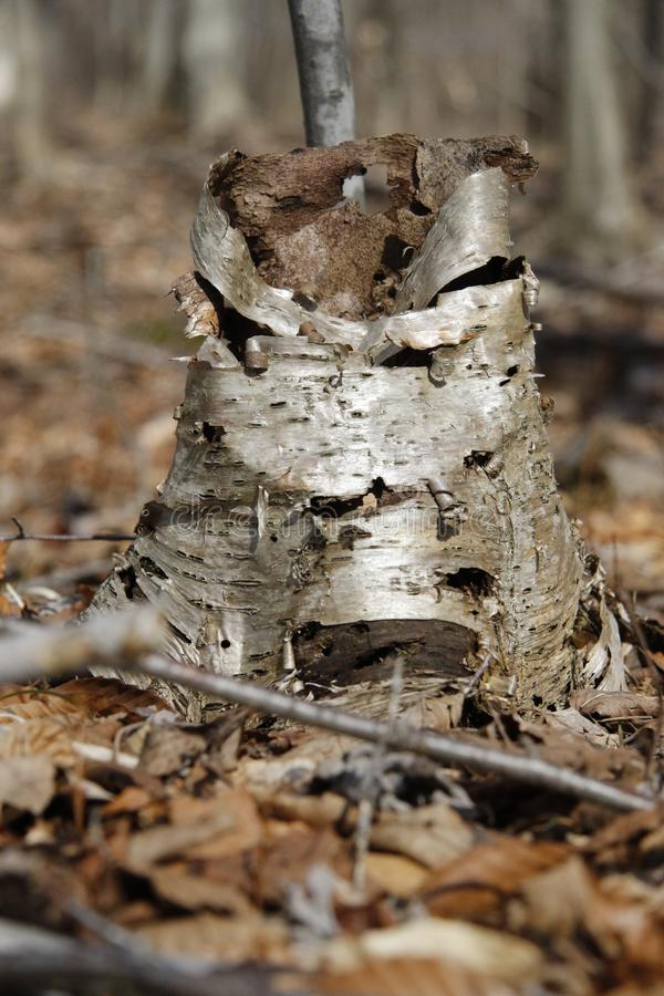 Broken off birch tree stump royalty free stock photography
