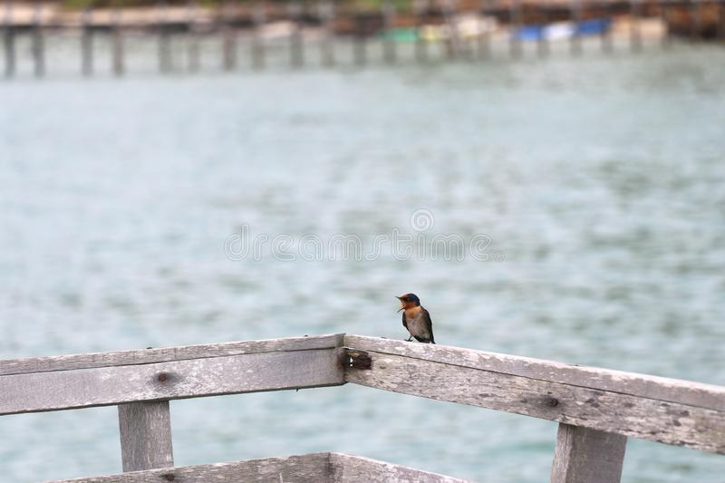 The small bird is in the back of the wooden chair. And is opening his mouth to cry royalty free stock photos