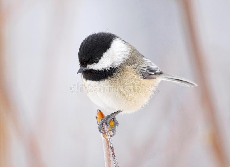 Small Bird Called A Black Capped Chickadee Perched A Branch In Winter royalty free stock photo