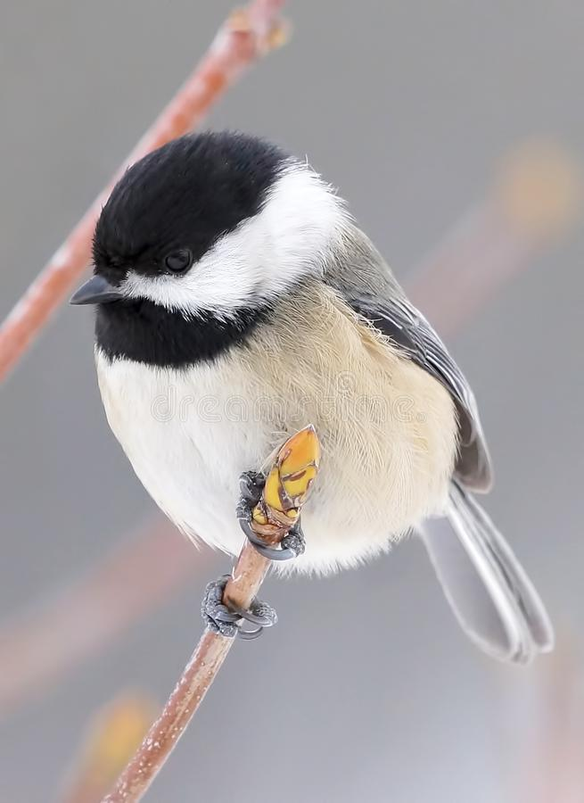 Small Bird Called A Black Capped Chickadee Sitting On A Tree Branch royalty free stock photo
