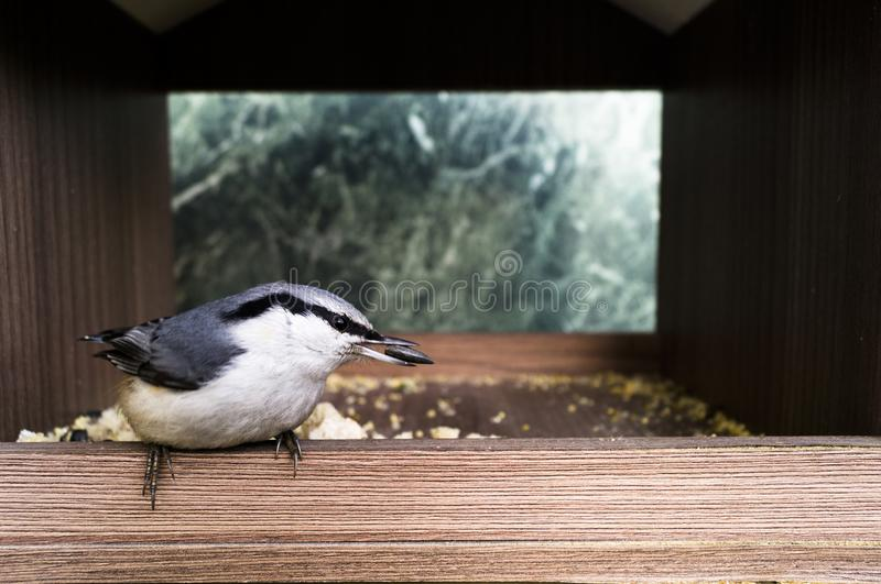 A small bird eats seeds. Lanius excubitor royalty free stock images
