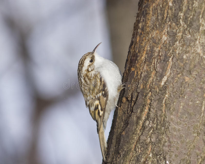 Small bird Eurasian or Common Treecreeper, Certhia familiaris, close-up portrait on tree with bokeh background royalty free stock photography