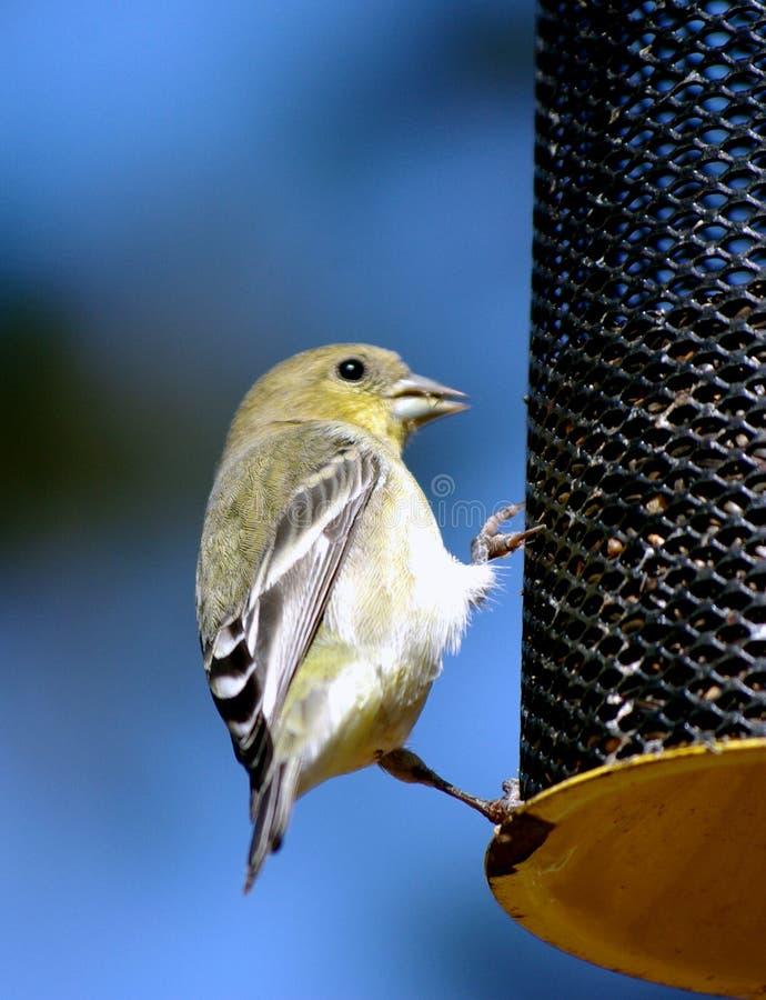 Download Small Bird  on a feeder stock image. Image of beak, metal - 11363933