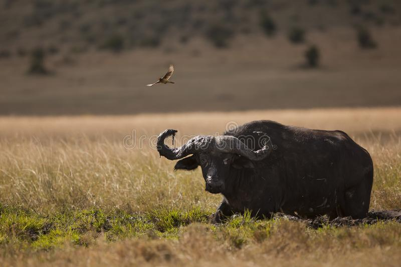 Small bird flying over a magnificent black buffalo in the middle of the jungle royalty free stock images