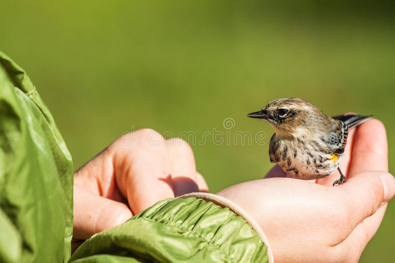 Small bird on hand royalty free stock images