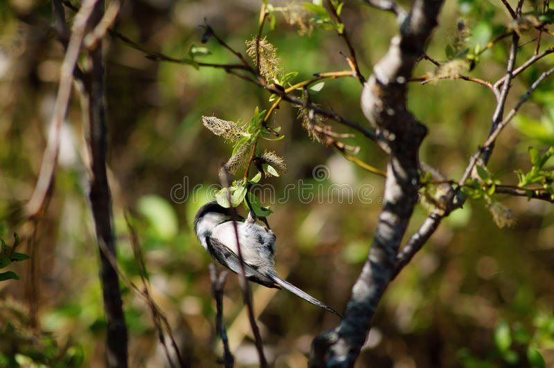 Download Black-Capped Chickadee Small Bird In Tree Stock Photo - Image of close, department: 31716994