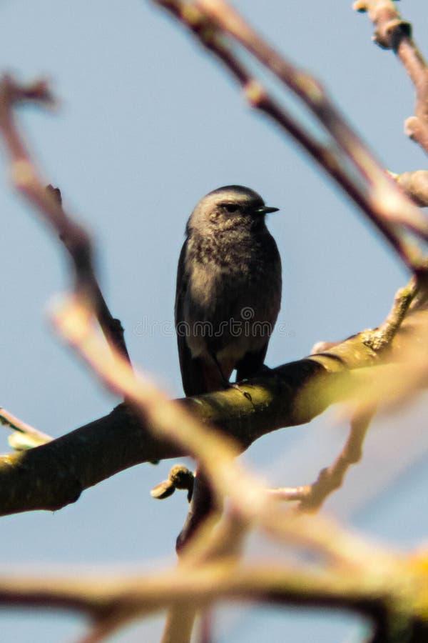 Small bird on walnut tree. A small bird on a walnut tree branch royalty free stock images