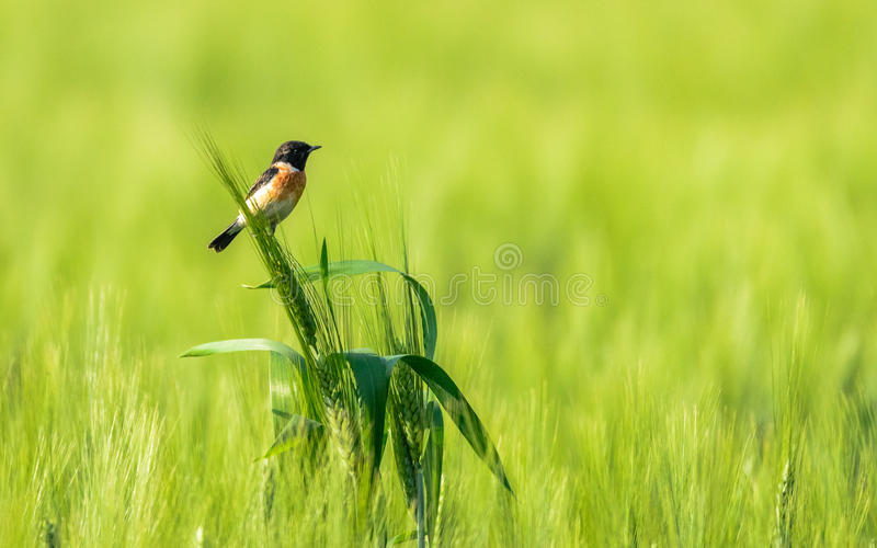 Small bird in Wheat field. The Siberian Stonechat or Asian Stonechat (Saxicola maurus) in wheat field (stem royalty free stock images