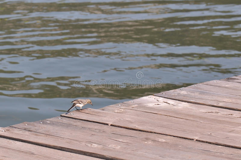 Small bird on a wooden pontoon. A wooden pontoon on a river with small bird stock photography