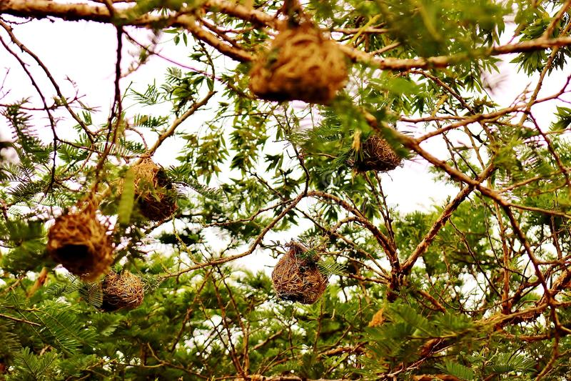 Small birds nests on the tree stock image