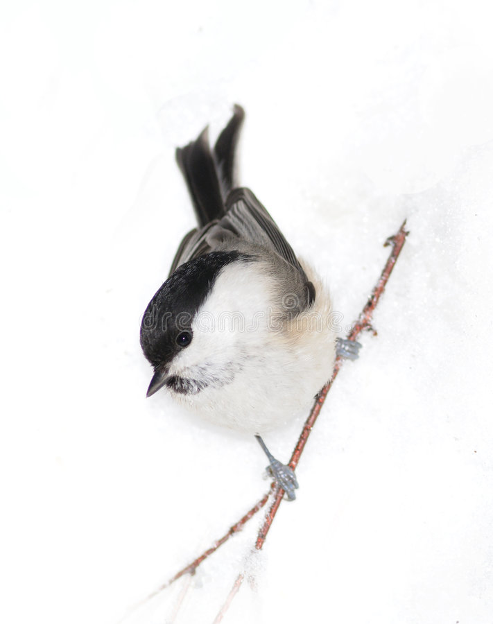 Small birdy on snow stock photos