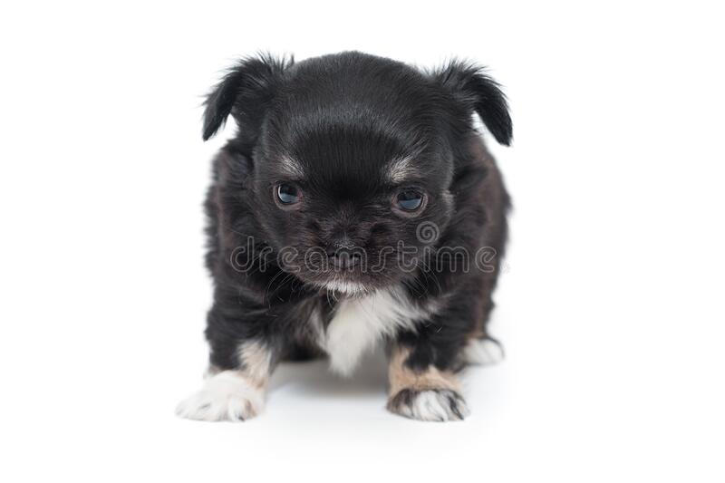 Small black Chihuahua puppy stock images