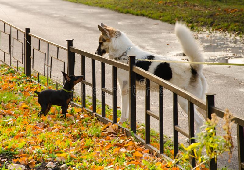 A small black dog and a big white dog look at each other through a small fence royalty free stock images