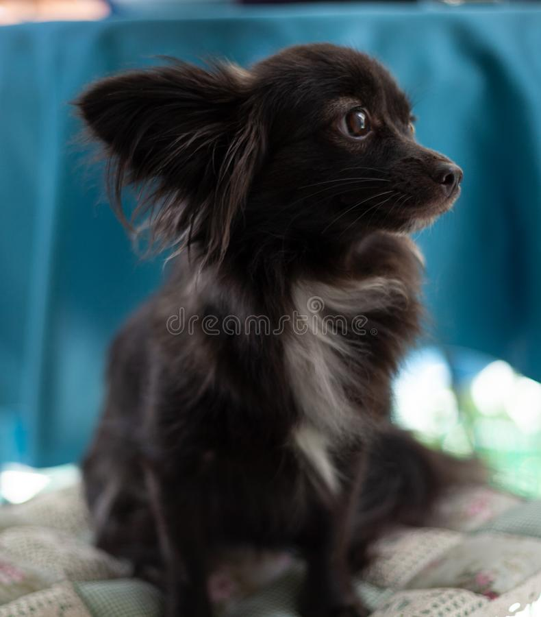 Small black dog on a chair. A small black puppy dog with big ears sitting on chair looking away from the camera in a serious look under natural light royalty free stock image