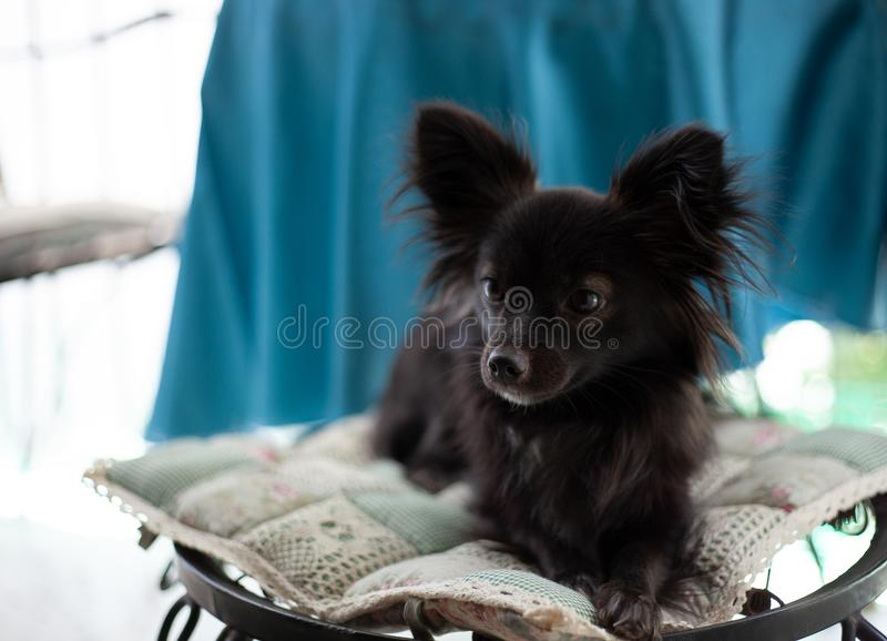 Small black dog on a chair. A small black puppy dog with big ears sitting on chair looking away from the camera in a serious look under natural light stock photography