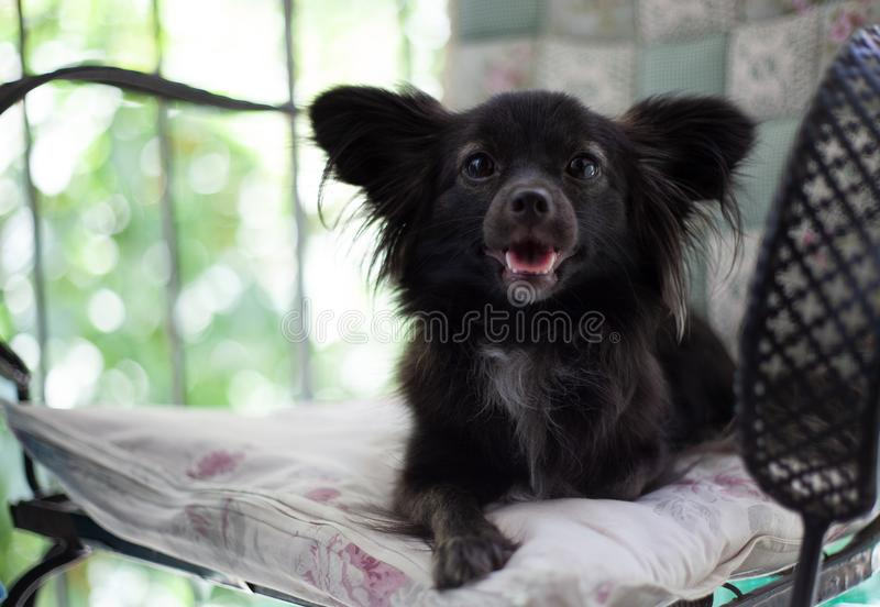 Small black dog on a chair. A small black puppy dog with big ears sitting on chair looking at the camera with an open mouth under natural light stock photos
