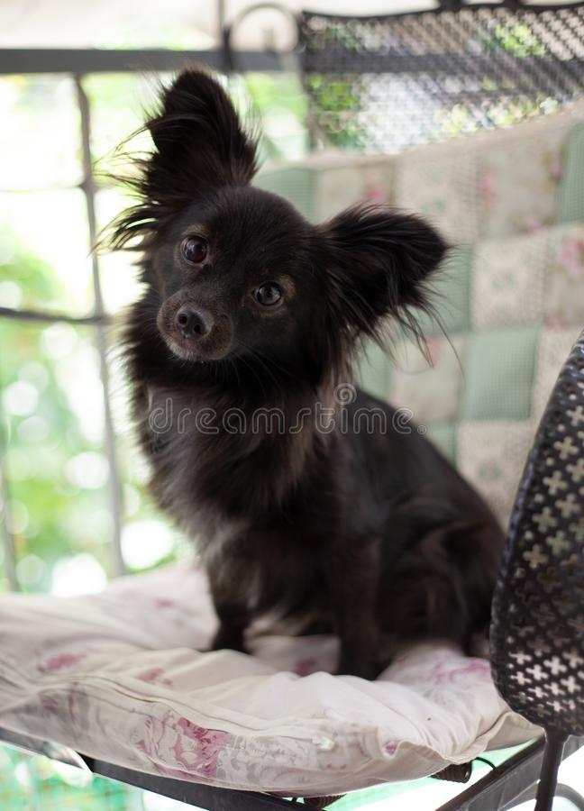 Small black dog on a chair. A small black puppy dog with big ears sitting on chair looking at the camera in a playful smart mood under natural light royalty free stock images