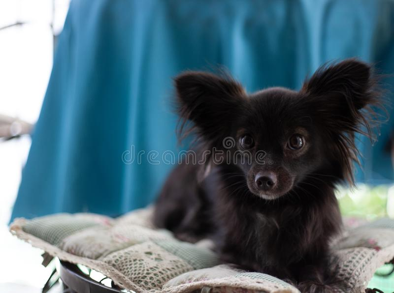 Small black dog on a chair. A small black puppy dog with big ears sitting on chair looking at the camera in a serious look under natural light royalty free stock photo