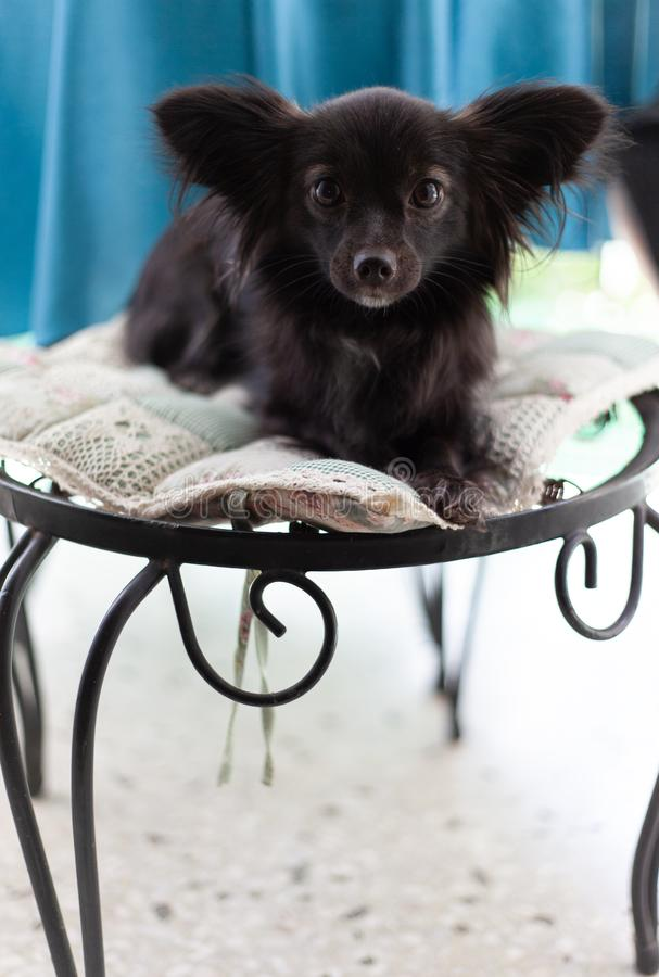 Small black dog on a chair. A small black puppy dog with big ears sitting on chair looking at the camera in a serious look under natural light royalty free stock images
