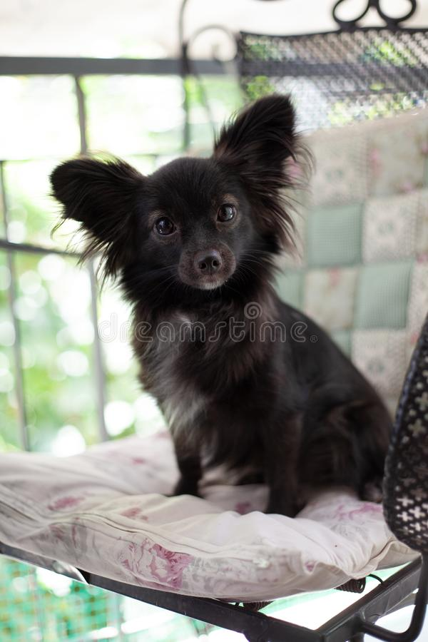 Small black dog on a chair. A small black puppy dog with big ears sitting on chair looking at the camera in a serious smart mood under natural light royalty free stock images