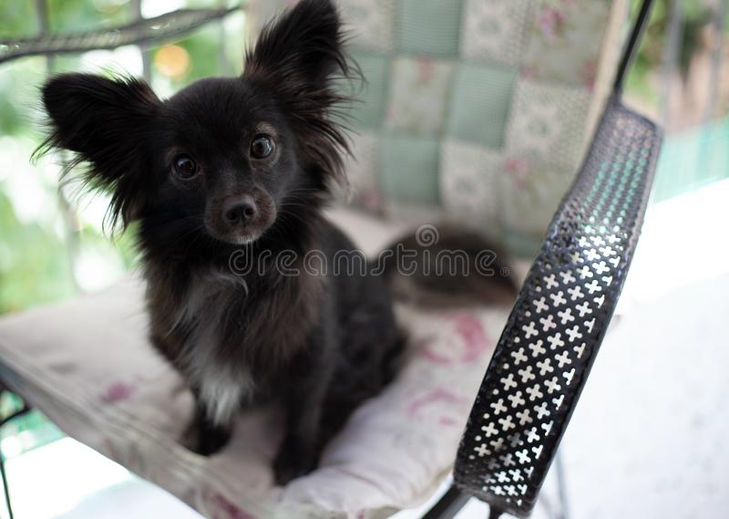 Small black dog on a chair. A small black puppy dog with big ears sitting on chair looking at the camera in a smart look under natural light stock images