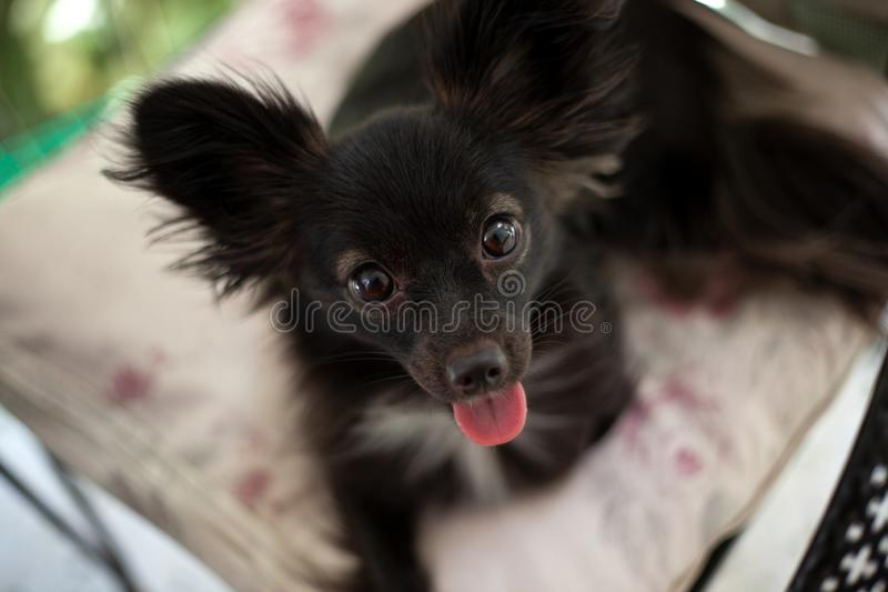 Small black dog on a chair. A small black puppy sitting on chair looking at the camera with its little tongue out under natural light royalty free stock photography