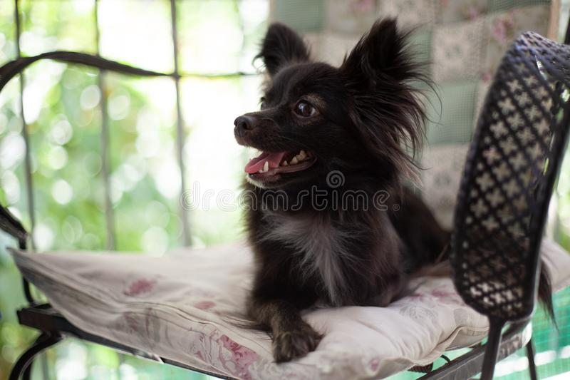 Small black dog on a chair. A small black puppy sitting on chair looking at the camera with its mouth open like smilling under natural light stock photos