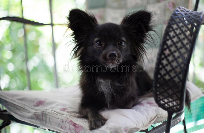 Small black dog on a chair. A small black puppy dog sitting on chair looking at the camera in a serious mood under natural light stock photography