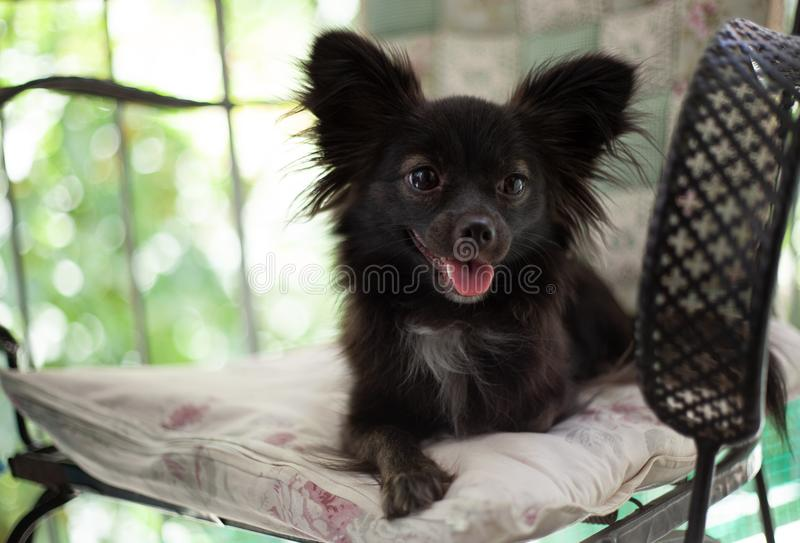 Small black dog on a chair. A small black puppy dog sitting on chair looking at the camera under natural light royalty free stock image