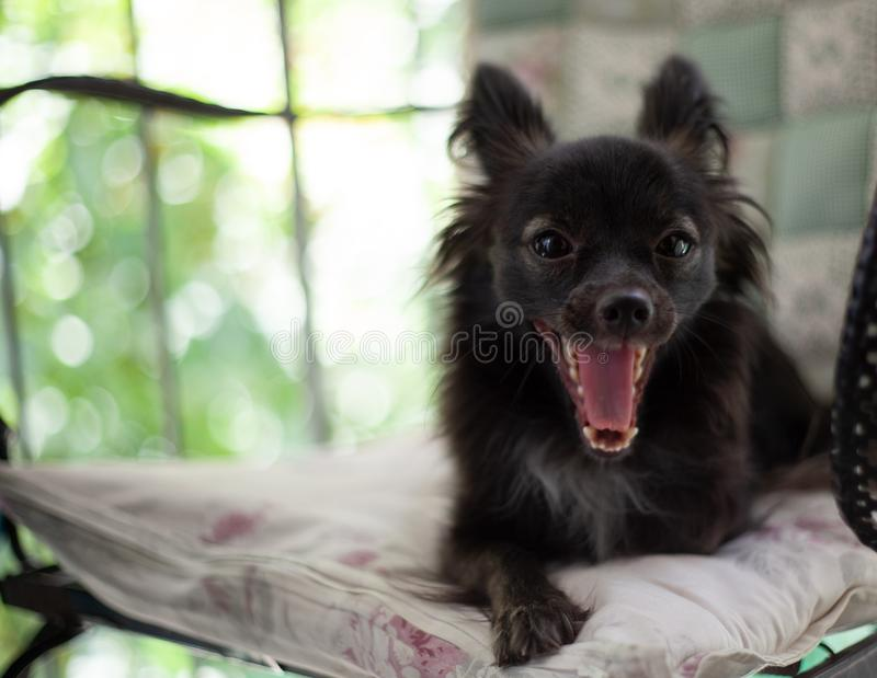 Small black dog on a chair. A small black puppy dog sitting on chair looking at the camera yawning under natural light royalty free stock photo