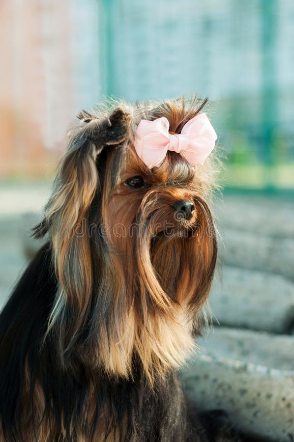 Small black dog with long hair royalty free stock photography