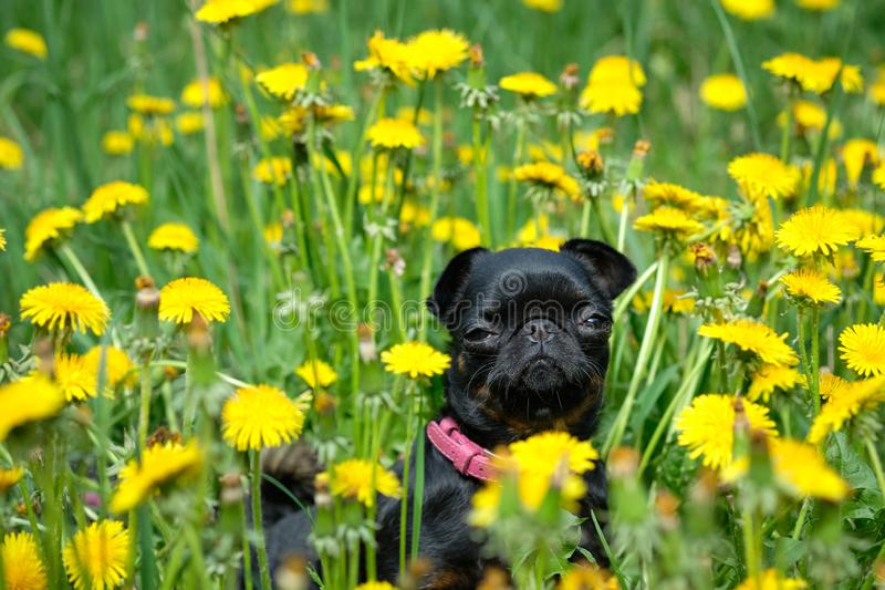 A small black dog sits on the green grass with yellow dandelions . Petit Brabancon royalty free stock photo