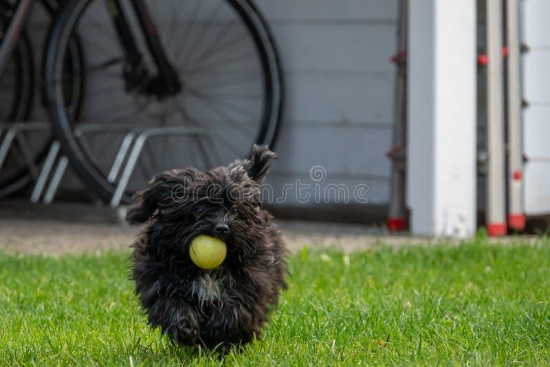 A small black dwarf bolonka retrieves a small yellow ball. One  small black dwarf bolonka retrieves a small yellow ball stock photography