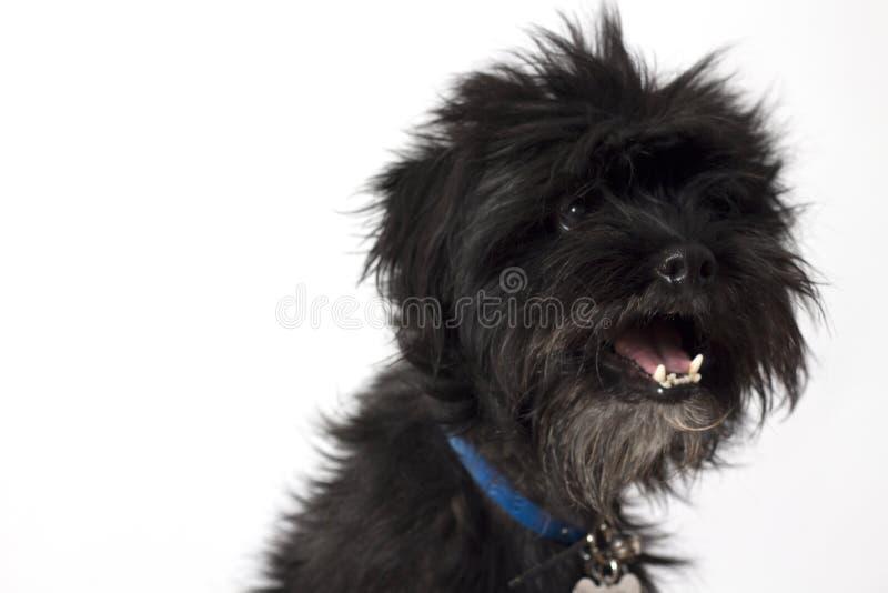 Small black happy dog. royalty free stock photo