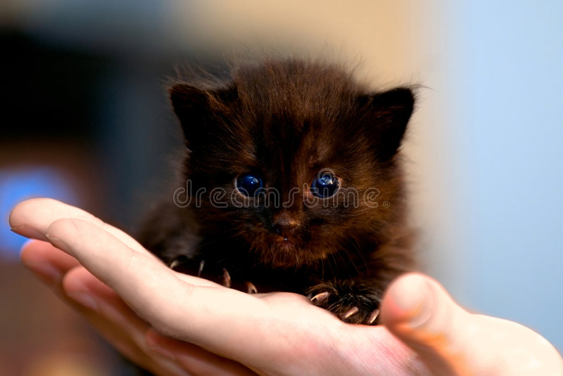 Small black kitten. Small black cat in human hands stock photo