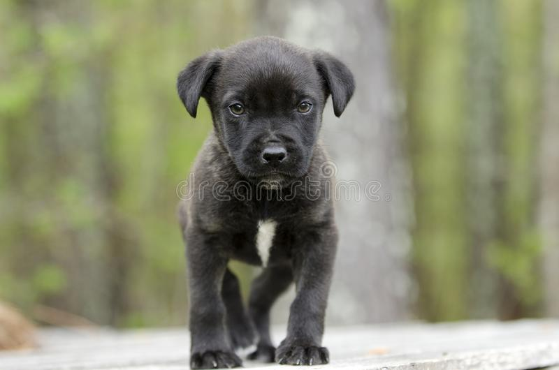 Cute little black puppy, pet rescue adoption photography. Small black pup with white chest. Female 6 weeks old mixed breed dog. Outdoor pet adoption photography stock photos
