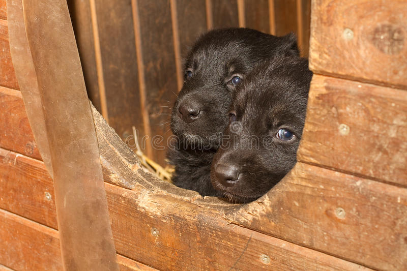 Small black puppy dogs. A bit sad stock photos