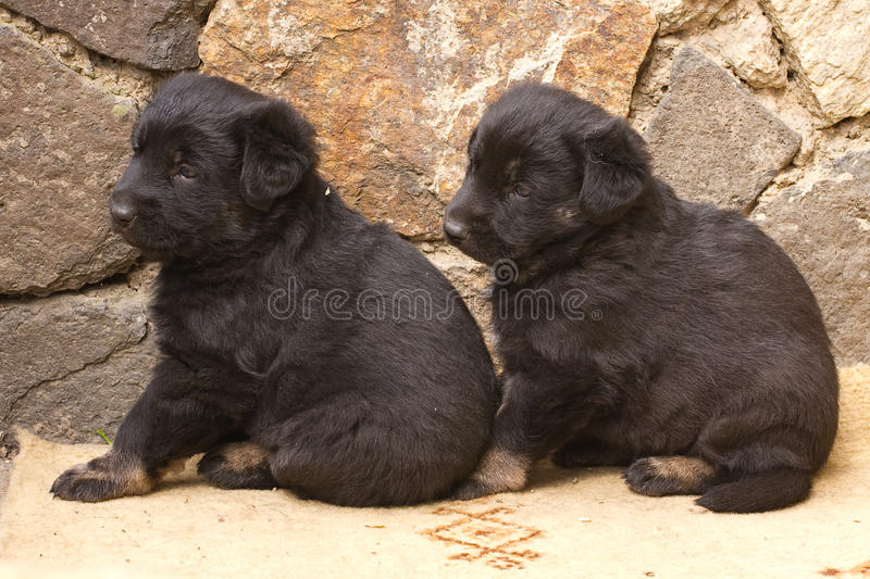 Small black puppy dogs. A bit sad stock photography
