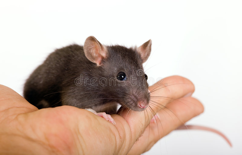 Download Small black rat stock photo. Image of rodent, people, palm - 7081050