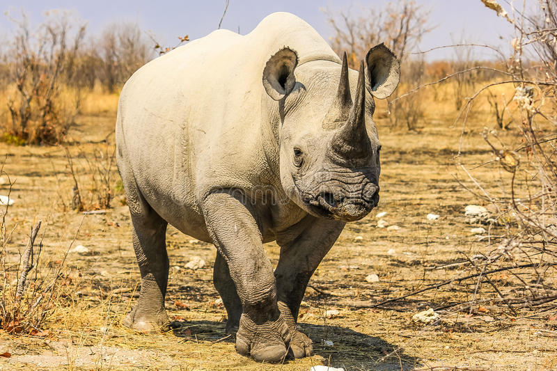 Small black rhino. At Ethosa National Park in Namibia, Africa. Dry season royalty free stock photography