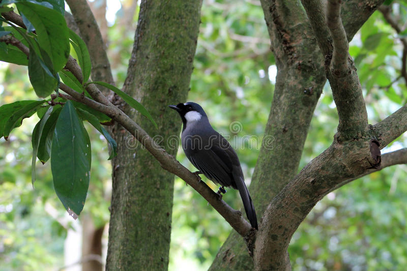 Small black and white bird. Small white and black bird in tree and against green leafy background at local zoo. white cheeked bird from Asia. picture taken in stock photos