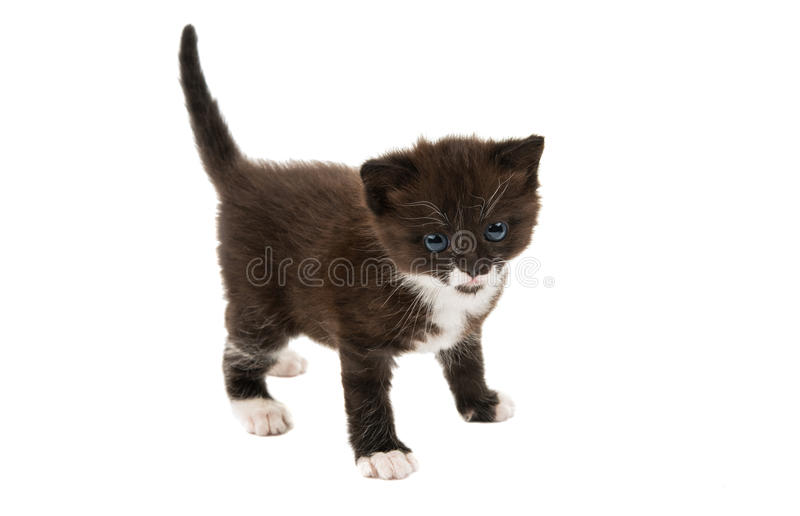 Small black-white kitten. On a white background stock photos