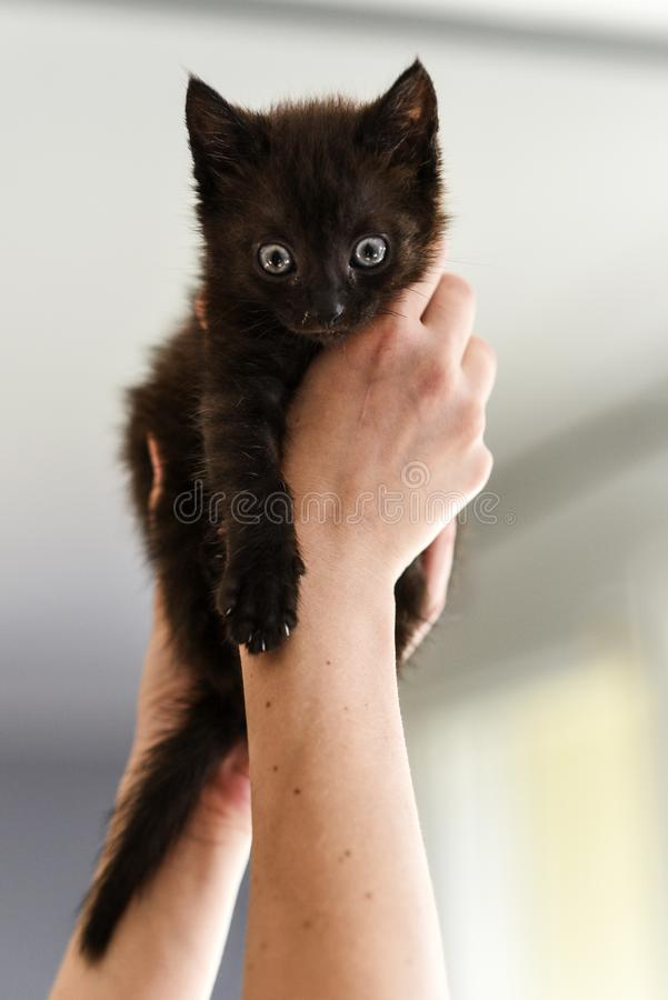 A small black and white kitten in the hands of a loving man.  stock image