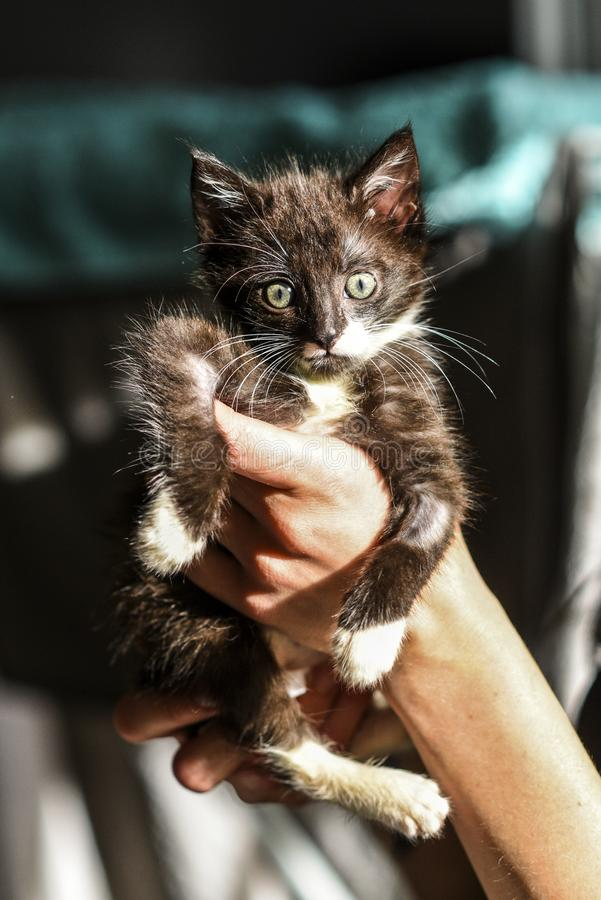 A small black and white kitten in the hands of a loving man.  royalty free stock images