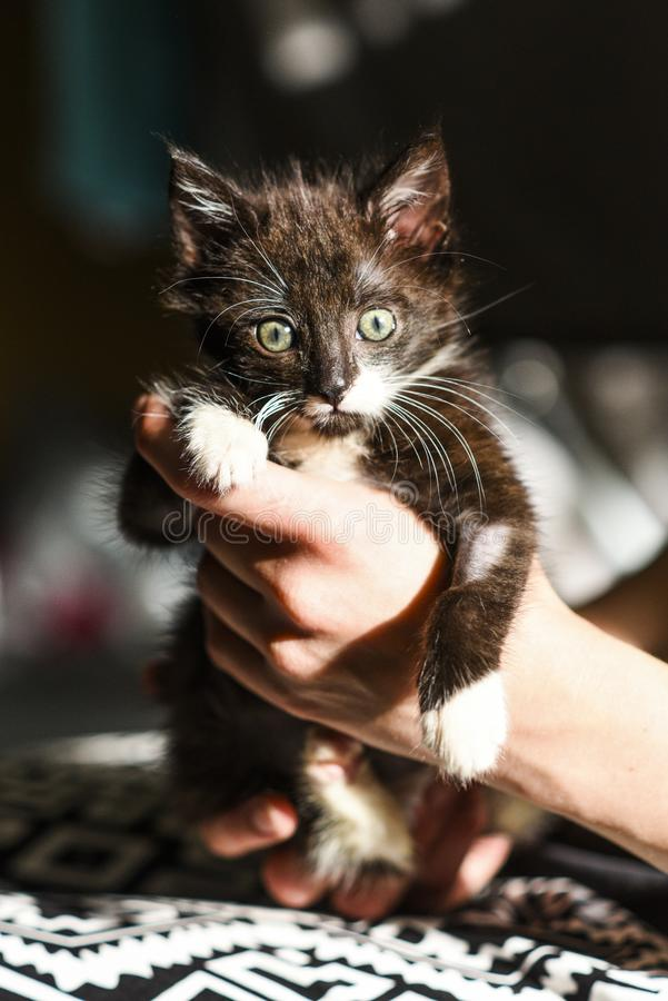 A small black and white kitten in the hands of a loving man.  royalty free stock image
