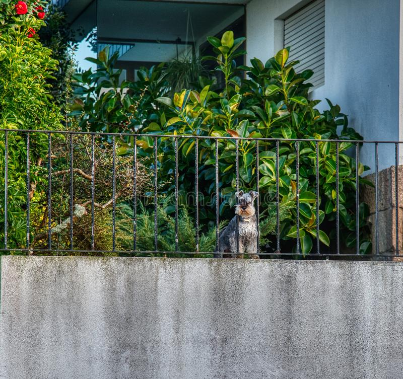 Small black and white miniature schnauzer dog. Schnauzer on alert, responsible for home security. Schnauzer from the top of his home monitors the security of the stock images