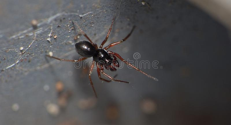 Woodlouse Spider - UK - Macro Photography. Small black woodlouse spider in the garden photo taken in the UK. Macro Photography stock photography